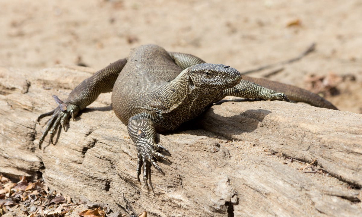 Image Description: color photograph of a monitor lizard basking on a log
