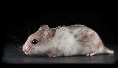 A  Jesse Jiryu Davis | Hamster